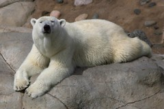 Polar Bear Laying Down with Head Up