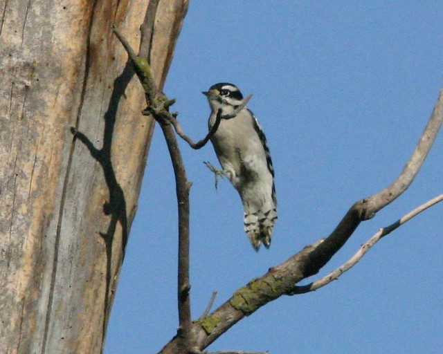 Downy Woodpecker Leaping