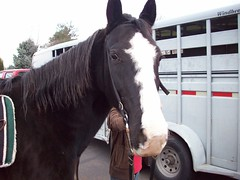 mane, mare, stallion, rein, halter, bridle, pack animal, horse tack, horse, horse harness, horse grooming,