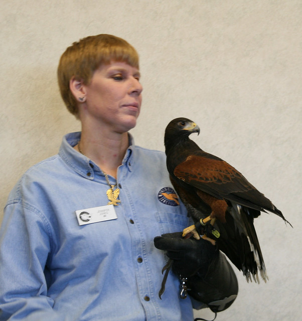 Raptor Program Harris Hawk
