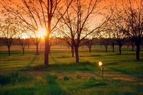 trees sunset sun field grass evening grove pecan pecangrove
