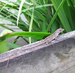 Well-colored lizard