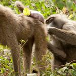 Baboons Grooming Each Other - Lake Manyara, Tanzania