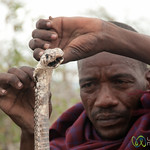 Egyptian Cobra and Masai Man - Lake Manyara, Tanzania