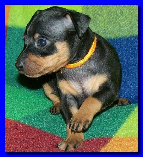 black and rust female miniature doberman pinscher from toy king canada ...