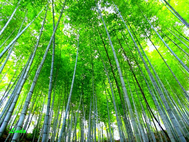 A touch of Green..Bamboo forest, Huang Shan 黃山 (Yellow Mountain) 2a