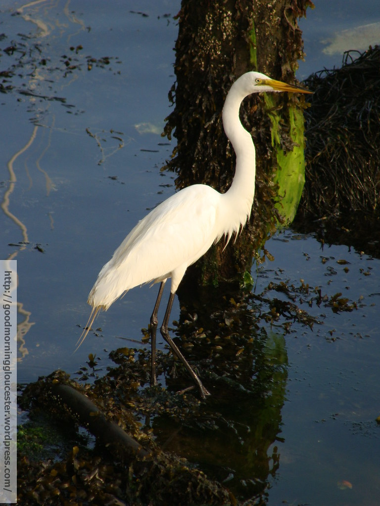 Great Egret On Prowl >> Great Egret On The Prowl For Small Crabs Watermarked With Flickr