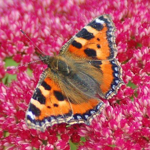 Tortoiseshell (Taken in my garden)