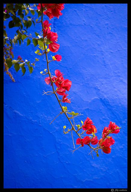 Red Flower On Majorelle Blue 1 Explored 27th Of Septembe Flickr
