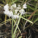Small photo of Allium cernuum NODDING WILD ONION