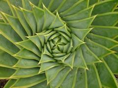 agave, leaf, plant, flora, green,