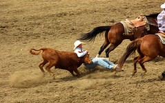 mustang horse(0.0), barrel racing(0.0), animal sports(1.0), rodeo(1.0), cattle-like mammal(1.0), equestrianism(1.0), western riding(1.0), team penning(1.0), mare(1.0), stallion(1.0), equestrian sport(1.0), tradition(1.0), sports(1.0), charreada(1.0), reining(1.0),