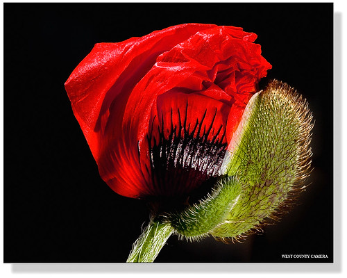 Red Poppy....for Tracey (jstbtrflyz2)