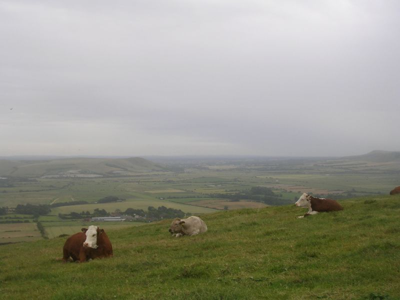 High rise herd Lewes to Saltdean