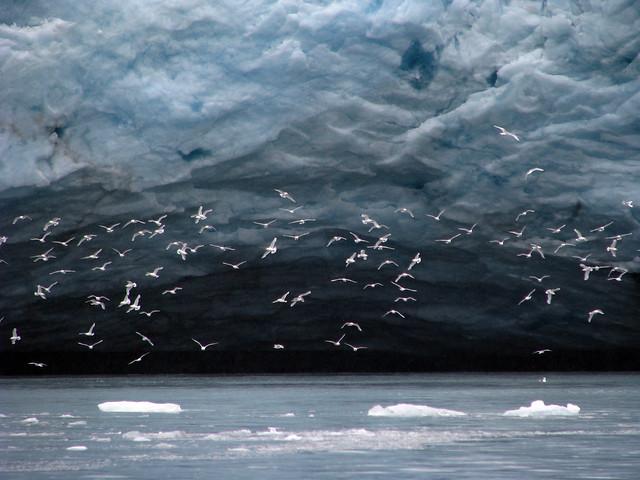 Fulmares boreales volando cerca de un glaciar en el archipiélago de Svalbard, Noruega