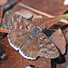 Juvenal's Duskywing - Photo (c) Jerry Oldenettel, some rights reserved (CC BY-NC-SA)