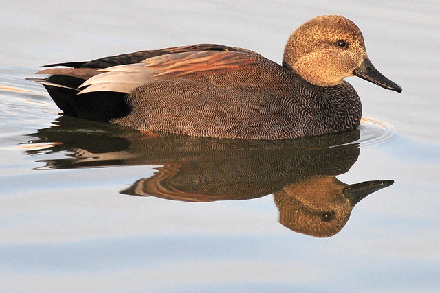 Male Gadwall Duck | Flickr - Photo Sharing!
