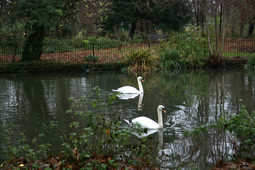 Ravensbury Park wildlife: Mute swans