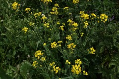annual plant, flower, yellow, mustard plant, brassica rapa, common rue, plant, mustard, subshrub, herb, wildflower, flora, rue, common tormentil, meadow, rapeseed,