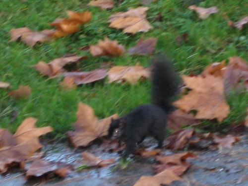 Zombie Black squirrel of Stanley park