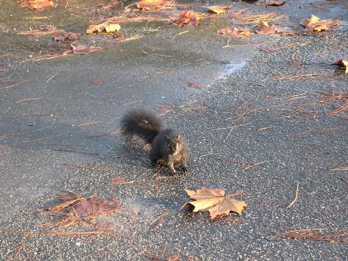 Black squirrel of Stanley park