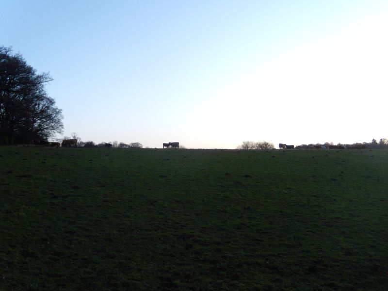 Cows near Gomshall Guildford to Gomshall