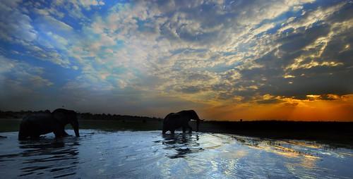 elephants botswana chobe abigfave anawesomeshot