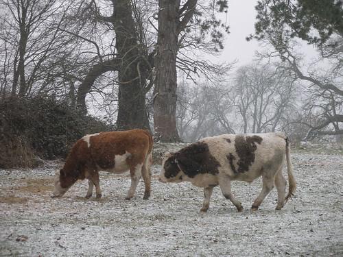 cold bullocks