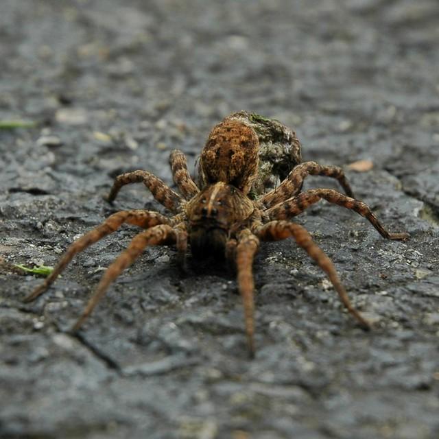Spider with egg sac 006 flickr photo sharing for Garden spider egg sac