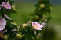 blossom(0.0), garden roses(1.0), flower(1.0), plant(1.0), nature(1.0), rosa rubiginosa(1.0), macro photography(1.0), rosa canina(1.0), wildflower(1.0), flora(1.0), close-up(1.0), rosa acicularis(1.0), petal(1.0),