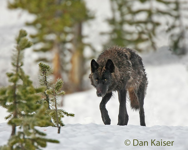 Yellowstone black wolf