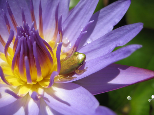 waterlily with froglet