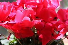 flower, red, macro photography, flora, cyclamen, pink, petal,