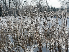 Weeds Covered with Frost and Snow