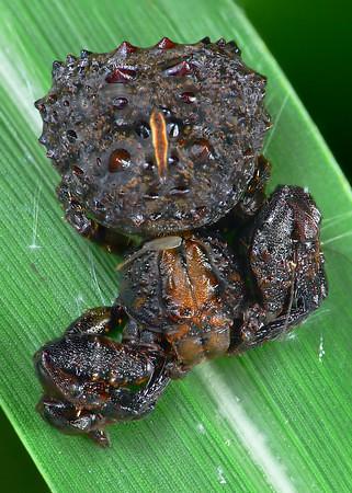 Bird dung crab spider - photo#9