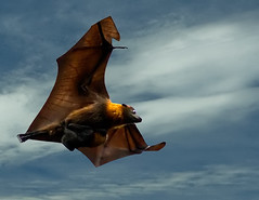 Grey-headed Flying-fox - Photo (c) Paul Hocksenar, some rights reserved (CC BY-NC-SA)