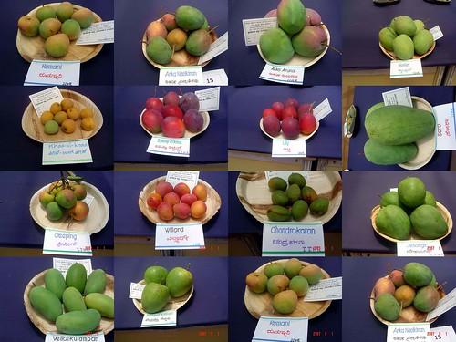 mangoes sonydscp72 mangiferaindica bangaluru lalbaghbotanicalgarden