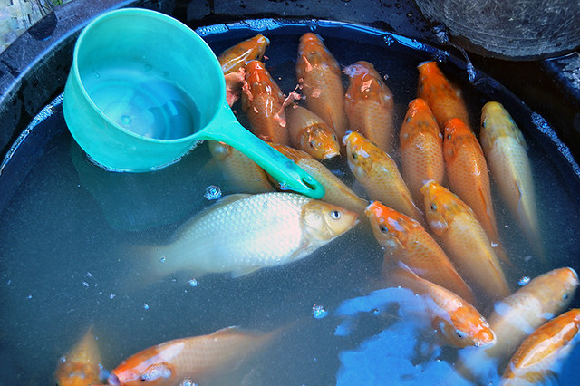 Bukit lawang market goldfish for sale fresh goldfish for Outdoor goldfish for sale