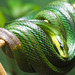 Red-tailed Ratsnake