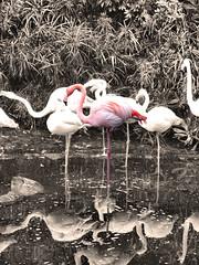 Pink flamingo in Ocean Park, Hong Kong