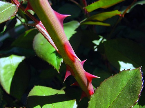 Close examination of this rose reveals many thorns (photo: drb62/flickr)