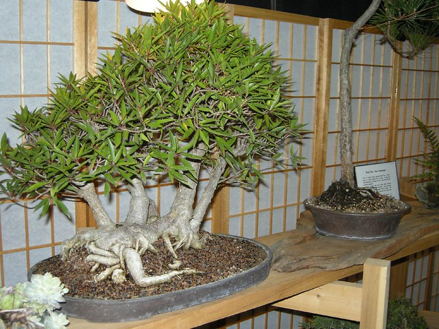 Crazy expensive and well taken care of bonsai tree 39 s for Most expensive bonsai tree ever