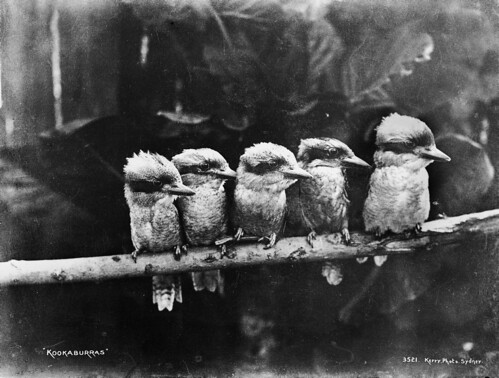Kookaburras by Powerhouse Museum Collection