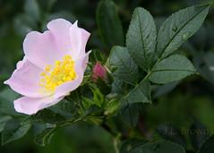 blossom(0.0), garden roses(0.0), rosa rugosa(0.0), shrub(1.0), flower(1.0), leaf(1.0), rosa gallica(1.0), plant(1.0), rosa rubiginosa(1.0), macro photography(1.0), rosa canina(1.0), flora(1.0), rosa acicularis(1.0), petal(1.0),