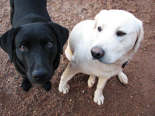 Sonny and Benji, a black & a yellow Labrador