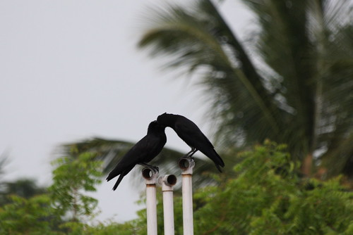 Romantic crows