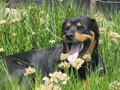 appenzeller sennenhund(0.0), dog breed(1.0), animal(1.0), dog(1.0), pet(1.0), greater swiss mountain dog(1.0), transylvanian hound(1.0), rottweiler(1.0), carnivoran(1.0),