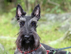dog breed, animal, berger picard, dog, pet, standard schnauzer, vulnerable native breeds, guard dog, schnauzer, miniature schnauzer, carnivoran, scottish terrier, terrier,