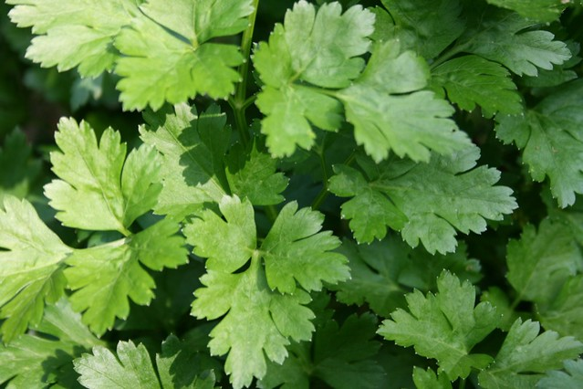 Container herbs: Flat-leaved parsley