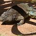Anegada Ground Iguana - Photo (c) Jason Pratt, some rights reserved (CC BY)